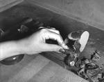 Woman cigar maker clipping a cigar at Cuesta Rey and Company