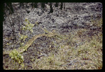 Eastern diamondback rattlesnake exiting prescribed fire : Environmental Lands Acquisition and Protection Program Collection