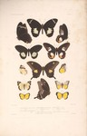 Image of a range of Papilio [butterfly] from a manuscript in the Briggs Collections